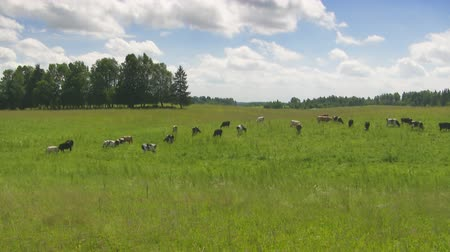 dmuchawiec : cows in the meadow, timelapse Wideo
