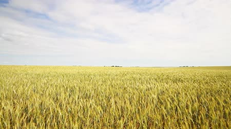 vento : wheat field