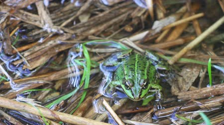 bullfrog : green frog in the pond Stock Footage
