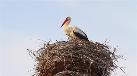 bird family : stork in a nest