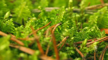mossy forest : Moss, close-up