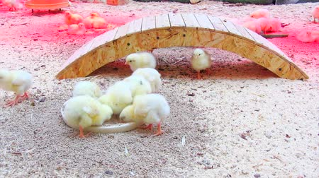 tavuk : small chicks Stok Video