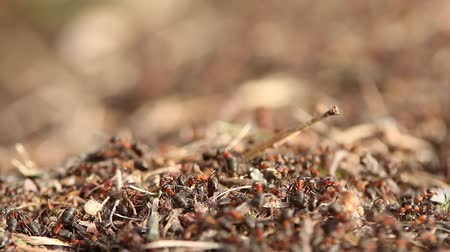 red ant : ants Stock Footage