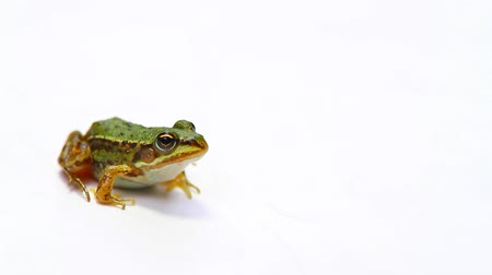 salto : Frog on a white Stock Footage