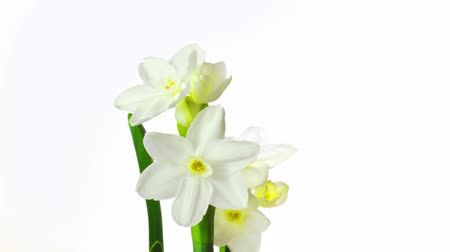 narciso : white narcissus blossoms, time-lapse