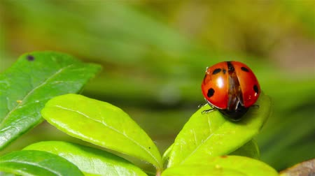 joaninha : ladybug takes off from the leaf Stock Footage