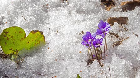 crescimento : melting snow and spring flowers , time-lap