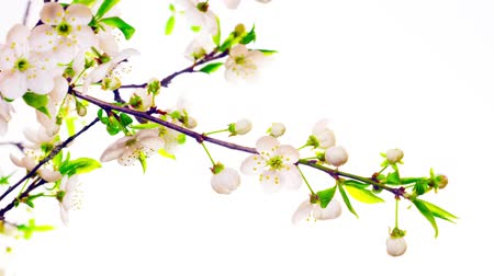 cereja : cherry blossom flowers, time-lapse Stock Footage