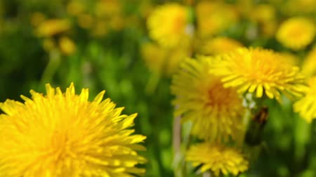 macro shooting : dandelions, shooting slider, macro Stock Footage
