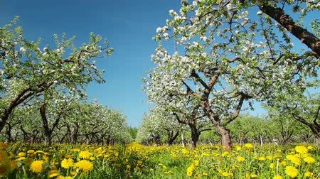 drzewo : blossoming apple orchard, shooting slider