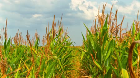 milho : corn field, time-lapse with crane Stock Footage