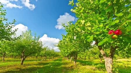 pomar : apple orchard with ripe apples, timelapse Vídeos