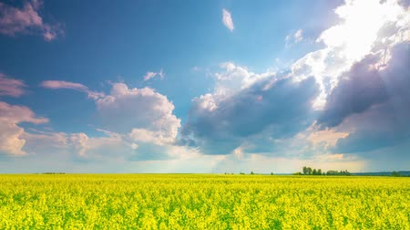 repce : Rape field and dramatic sky, time-lapse Stock mozgókép