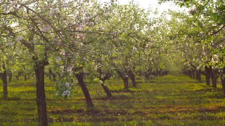 фрукты : panorama of blossoming apple orchard Стоковые видеозаписи