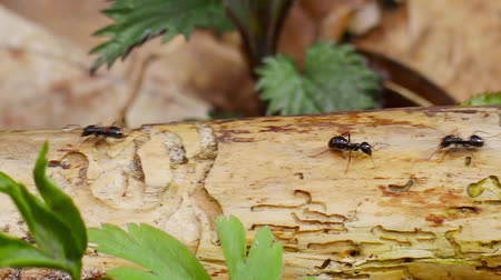 fakéreg : ants running along the trunk, filmed with slider