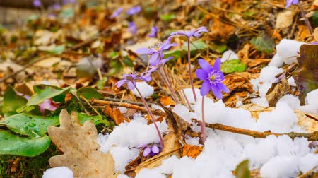 krokus : Spring flowers and melting snow, time-lapse