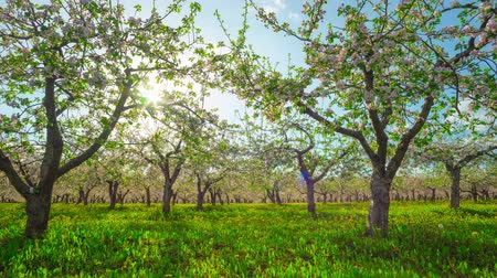 pomar : Blossoming apple orchard, time-lapse with slider