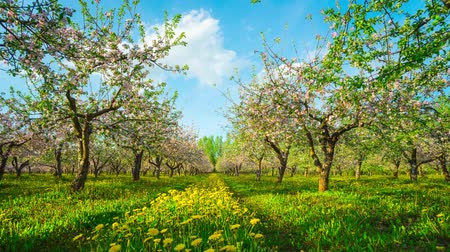 фрукты : Blossoming apple orchard, time-lapse with slider