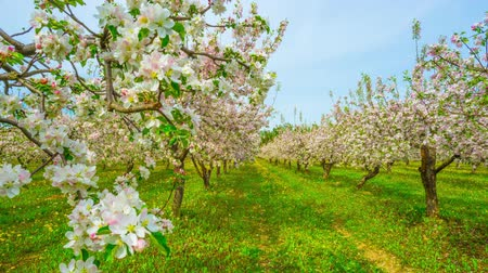 plantio : Blossoming apple orchard, time-lapse with slider