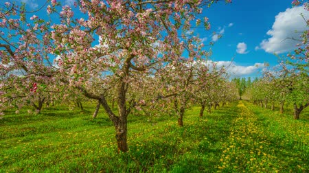 maçãs : Blossoming apple orchard, panoramic time-lapse Vídeos