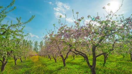 фрукты : Blossoming apple orchard, panoramic time-lapse Стоковые видеозаписи
