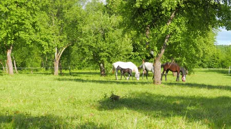ranč : A family of horses graze in the apple orchard
