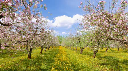 фрукты : Blossoming apple orchard, pan Стоковые видеозаписи