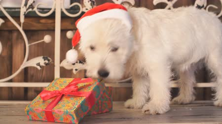 рождество : Adorable dog looking for presents on christmas. Стоковые видеозаписи