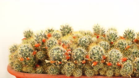 botanik : Slow motion various of mini cactus in the mini pot. Stok Video