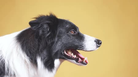 çoban köpeği : Yawning white and black collie. tiredness. Isolated yellow background