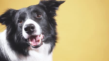 çoban köpeği : Border Collie isolated on yellow background. Adorable animal. Nice hungry dog waiting for food Stok Video