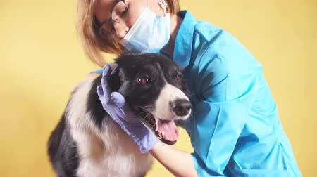 ear infection : female veterinarian cleans ears of border collie. isolated on yellow background. close up shot. dog groomer at workplace. girl teats the ears of pet Stock Footage