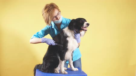 kap : woman with scissors makes grooming dog at salon. close up photo. isolated yellow background. copy space. profession, job,