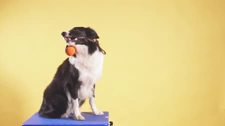 obediente : Cute dog having fun with a toy. Isolated yellow background. Breed pet with a toy in the mouth. Entertainment. Stock Footage