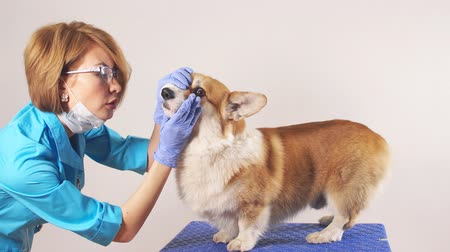 arquejo : Young experienced female vet examining a breed dog in the clinic. Profession, job, occupation, animals care. Welsh corgi