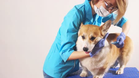 прикован : caring awesome girl brussing a pet in zoo hospital. medicine for animals. pets care. studio shot.