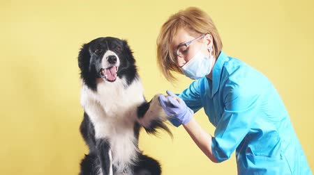 lekarz : Woman in blue uniform checking the nails of pet. Girl touching the sick paw of a breed dog. isolated yellow background. Wideo