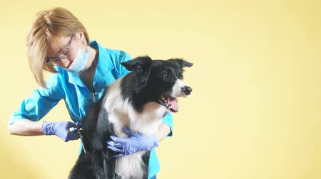 barber equipment : fair-haired woman in blue uniform, glasses trimming the hair of breed dog. isolated yellow background.