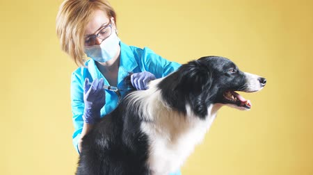 диагностировать : Blond vet anesthetizes a dog by an injection before the surgery. wpman puts the dog away. isolated yellow background. Стоковые видеозаписи