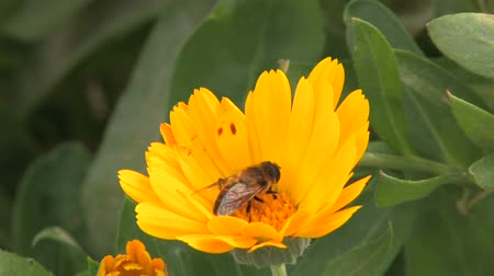 pszczoła : Bee on yellow flower