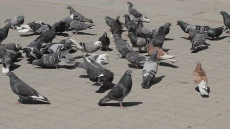 dove of peace : Flock of pigeons eating bread outdoors in the city street.