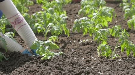 rajčata : There are planted in neat rows young shoots of tomatoes. Young woman in white sweater and blue rubber garden gloves continuing planting.