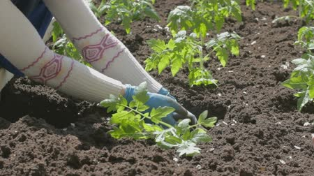 munkaeszközként : Young woman in white sweater and blue rubber garden gloves neatly and carefully landing tomato seedlings in fertile soil. There are seen already planted bushes.