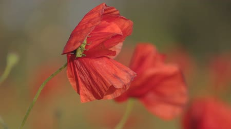 listki : Green grasshopper sitting on blossoming petals of red poppy on flowering meadow with already opened red poppies on wind. Wideo