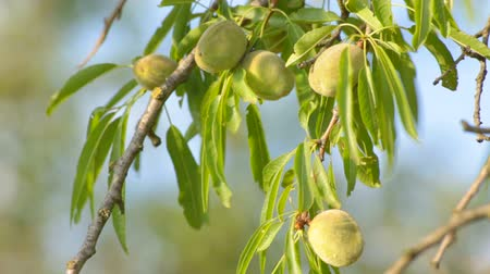 mandula : Wind rustling elongated leaves hanging on almond tree with unripe fruitage , close-up. Stock mozgókép