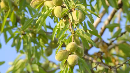 mandula : Unripe almonds covered with elongated leaves hanging on tree on wind, close-up.