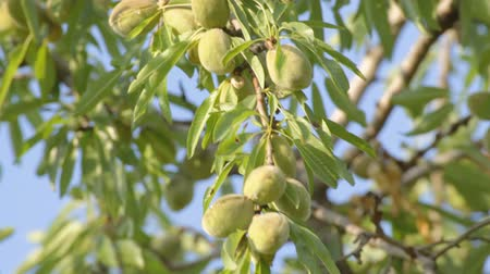 mandula : Close-up of not ripe almond hanging on tree, moving on wind