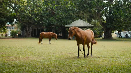 juba : Horse on the field grass in india sri lanka, young brown horses