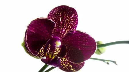 orchidea : time-lapse of opening purple orchid  isolated on white