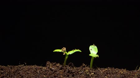 tohum : time-lapse of germinating sunflower seeds Stok Video
